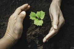Closeup hand of person holding abundance soil for agriculture or planting peach.  stock photography
