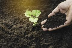 Closeup hand of person holding abundance soil for agriculture or planting peach.  stock image