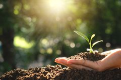 Closeup hand of person holding abundance soil for agriculture or. Planting peach concept royalty free stock photos