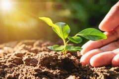 Closeup hand of person holding abundance soil with young plant i. N hand for agriculture or planting peach nature concept royalty free stock photo