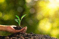 Closeup hand of person holding abundance soil with young plant i. N hand and watering for agriculture or planting peach nature concept stock photography