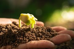 Closeup hand of person holding abundance soil with young plant i. N hand for agriculture or planting peach nature concept stock image