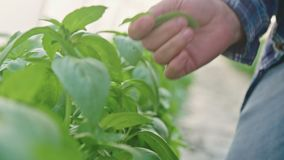 Closeup of hand picking Basil leafs in a greenhouse. Close up of hand picking Basil leafs in a greenhouse stock footage