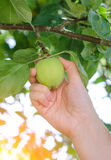 Closeup on a hand picking a green apple Stock Photography