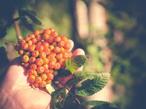 Closeup of a hand picking rowan berries. Photo shows a closeup of a hand picking rowan berries or berries from mountain ash Royalty Free Stock Image