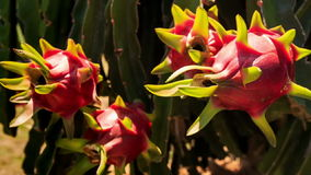 Closeup Hand Picks down Dragon Fruit from Plant. Under bright sunlight stock video footage