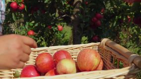 Closeup of a hand putting a ripe red apple. In wicker basket stock video