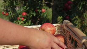 Closeup of a hand putting a ripe red apple. In wicker basket stock video footage