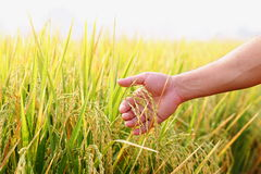 Closeup hand with rice field. Royalty Free Stock Photos