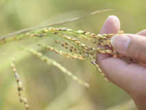 Closeup Of Hand With Stalk Of Grains Outdoors Stock Photography