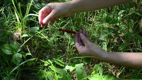 Closeup hand swing ripe wild strawberry on bent grass in summer stock footage