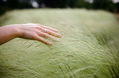 Closeup of a hand touching green spikelets. Summer wallpaper. royalty free stock photography