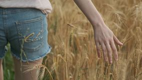 Closeup of hand walking girl touching yellow spikelets of wheat in field, golden hour. Wheat with droplets of rainwater stock footage
