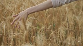 Closeup of hand walking girl touching yellow spikelets of wheat in field, golden hour. Wheat with droplets of rainwater stock video footage