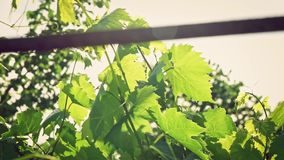 Closeup handheld tilt shot of an organic grapes in backlit in a vineyard at sunset or sunrise with lens flare and the