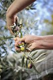 Hands adult woman engaged to pick olives. Royalty Free Stock Photos