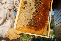 Closeup hands of beekeeper hold wooden frame with honeycomb. Collect honey. Beekeeping concept.  royalty free stock image