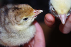 Closeup of the hands of a child holding a cute little yellow chikens. Stock Images