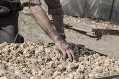 Closeup hands of a farmer picking  fig fruits spreading on platform under sun to dry Stock Image