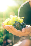 Closeup with hands full of grapes, on blurred green background. Closeup with hands full of grapes, on green blurred background at sunset. Specially created Royalty Free Stock Photo