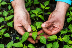 Closeup of the hands of a man who treats small pepper plants in Stock Photography