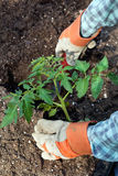 Closeup of hands planting large tomato plant Stock Image