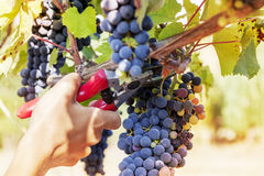 Closeup of hands to gather a bunch of grapes. With shears stock image