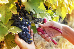 Closeup of hands to gather a bunch of grapes Royalty Free Stock Photography