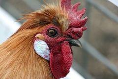 Closeup of a Handsome Rooster Stock Photos