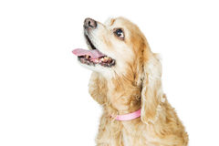 Closeup Happy Cocker Spaniel Dog Looking Up Royalty Free Stock Image