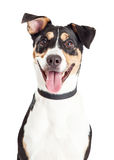 Closeup of Happy Crossbreed Dog Mouth Open Stock Image