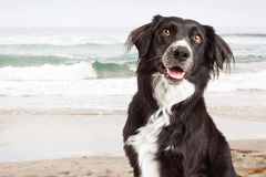 Closeup of Happy Dog at Beach Stock Images