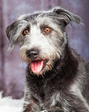 Closeup Happy Scruffy Crossbreed Dog Grey Stock Images