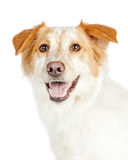 Closeup of Happy Shepherd and Border Collie Dog stock photography