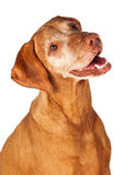 Closeup of Happy Vizsla Dog Stock Images