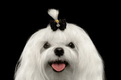 Closeup Happy White Maltese Dog Looking in Camera isolated Black. Closeup Portrait of Happy White Maltese Dog with tie Looking in Camera isolated on Black Royalty Free Stock Photos