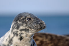 Closeup harbor seal Royalty Free Stock Photos