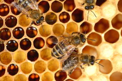 Closeup of hardworking bees on honeycomb Royalty Free Stock Photos