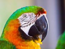 Closeup of Harlequin hybrid macaw. Royalty Free Stock Photos