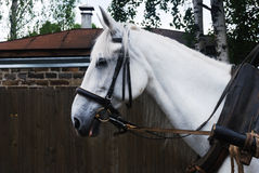 Closeup of harnessed white horse outdoor Stock Photos
