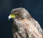 Closeup of harrier hawk Royalty Free Stock Photos
