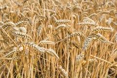 Closeup of harvest ripe wheat Stock Image
