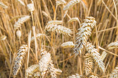 Closeup of harvest ripe wheat Stock Photography