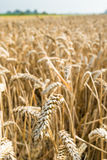 Closeup of harvest ripe wheat Stock Photo