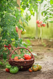 Harvested various tomatoes in small summer greenhouse royalty free stock images