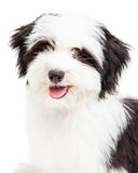 Closeup of Havanese Puppy Stock Image