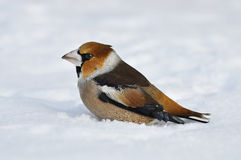 Closeup of a hawfinch, Coccothraustes Coccothraustes Stock Images