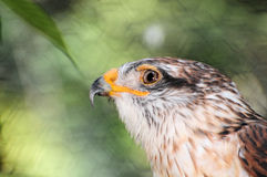 Closeup of hawk Stock Images