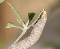 Closeup of a hawk moth caterpillar Stock Photo