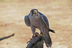 Closeup of hawk perched on hand with food in beak.  Royalty Free Stock Photography
